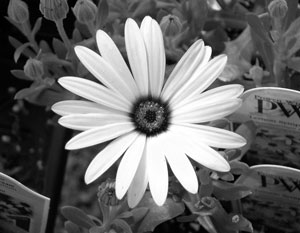 Daisy Picture