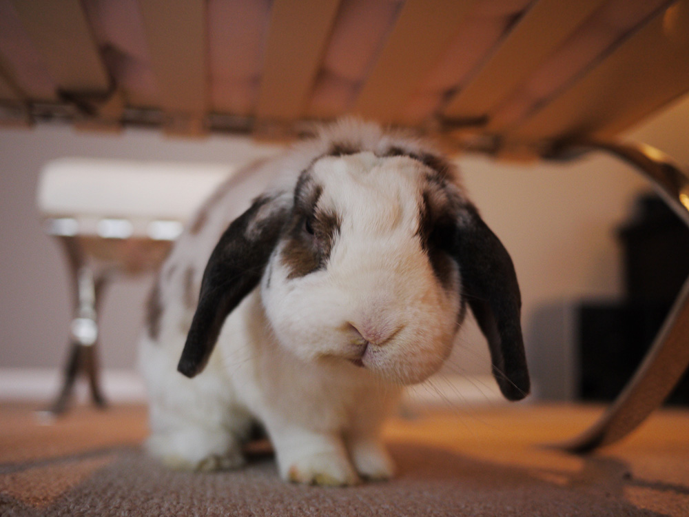A rabbit sitting underneath a table.